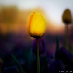 Yellow tulip (© Jenco van Zalk) Tags: mystiek tulp tulpen tulip fineart flower bloom drops waterdrops dewdrops earlymorning spring springflower macro closeup depthoffield minimalistic
