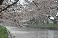 cherryb17469 (tanayan) Tags: cherry blossoms sakura flower nikon aichi oguchi japan gojyo river 愛知 大口 日本 五条川 d90 桜 さくら