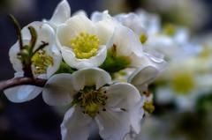 Chaenomeles • Zierquitte, weiß (tuvidaloca) Tags: chaenomeles profundidaddecampo dof zierquitte makro tiefenschärfe macro weis blanco rosaceae rosengewächs bokehextreme desenfoque desenfoqueparcial bokeh white
