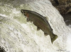 Trout_2 (G. Maxwell) Tags: 2017 actionshots em1 fishladder fish olym40150mmf28 olympus bowmanville bowmanvillecreek ontario rainbowtrout zuiko water rainbowtroutmigration