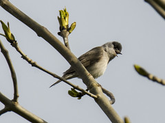 blackcap 1 (Yvonne Alderson) Tags: blackcap warbler male tree spring county durham tees