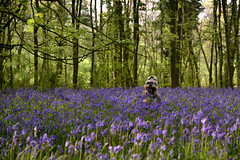 Squirreling Ewok (PentlandPirate of the North) Tags: bluebells lawtonwood cheshire scholargreen miniatureschnauzer dog ewok