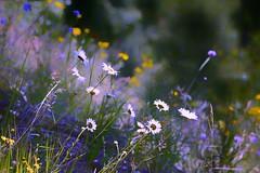 Welcome spring 🌸🌸🌸                                                                                  Un abbraccio ed un caro saluto a tutti gli amici di Flickr 😊😊😊 (lefotodiannae) Tags: lefotodiannae oasi zegna primavera spring natura colori fiori di prato e campo