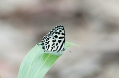 Common Pierrot (sreejithkallethu) Tags: commonpierrot nature naturephotography polachira kollam butterfliesofkerala kerala