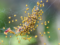 Spider kids (GAD72) Tags: macro 100mm garden spring closeup spider nest colony young