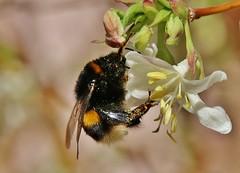 bumblebee (Hugo von Schreck) Tags: bumblebee hummel insect insekt macro makro hugovonschreck schwetzingen badenwürttemberg deutschland germany canoneos5dsr tamron28300mmf3563divcpzda010 onlythebestofnature greatphotographers