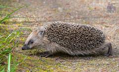 DSC_3442 (gupta.steve) Tags: igel tier natur wildlife säugetier insektenfresser jäger