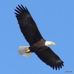 American Bald Eagle (James Kaval) Tags: americanbaldeagle copyrightjameskaval2017 delawareriver jameskaval jameskavalphotographygmailcom march2017 newjersey pahaquarry