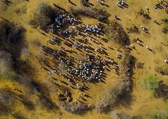 Aerial view of the slaughter of a bull during the Gada system ceremony in Borana tribe, Oromia, Yabelo, Ethiopia (Eric Lafforgue) Tags: aerial aerialview africa animal arab badhaasa boran borana borena bull celebration ceremony circle colourpicture cow crowd cruel culturalheritage cultures drone eastafrica ethdrone0317115 ethiopia gaada gada gadasystem gadaa horizontal hornofafrica oromia oromiya oromo outdoors sacrifice slaughter togetherness traditionalculture traditions tribalculture unesco yabello yabelo
