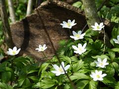 Waldanemonen (MsAndi63) Tags: waldanemonen panasoniclumixfz150 frühling wald springtime ostalb