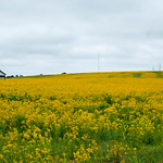 American field of gold thumbnail