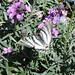 Scarce swallowtail (Madrid, Plaza de España)