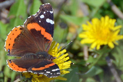 Red Admiral Butterfly (ctberney) Tags: redadmiralbutterfly vanessaatalanta insect spring flying fluttering dandelions nature