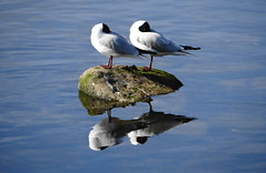 River Dee Reflections (Ian Robin Jackson) Tags: riverdee aberdeen sony nature river birds blackheadedgull scotland reflections