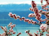 spring saying goodbye to winter (Athanasia_Houvarda) Tags: cherryblossom cherry blue greece sky mountains snow background mountain lake prespes photography water flowerscolors