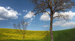 Prima Vera [explored] (Robyn Hooz (away)) Tags: primavera prima vera colza alberi nuvole clouds campo colori composizione cielo sky serenità