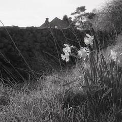 daffs - in Staffs (OhDark30) Tags: olympus 35rc 35 rc 35mm film bw bwfp fomapan 200 rodinal daffodils dry stone wall grass verge spring staffordshire staffs flowers bank countryside country roadside