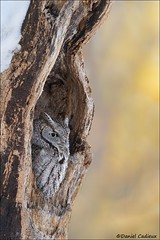 Screech-in-the-Pulpit (Daniel Cadieux) Tags: owl screechowl easternscreechowl treehole roost roosting awake rest resting forest woods ottawa