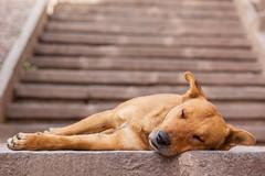 Asleep on the Stairs (Geraint Rowland Photography) Tags: god puppy animal streetdog perro peruviandog cusco peru visitcusco southamerica streetphotography canon geraintrowlandphotography steps stairs depthoffield focus peruvianphotography 85mm 18
