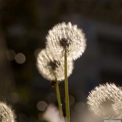 Pissenlit- (cbourdon92) Tags: printemps antony îledefrance france fr