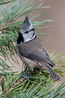 Crested Tit-186