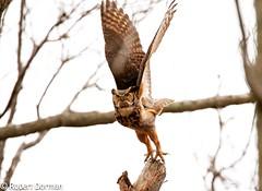 Great Horned Owl (tavarez.niurka) Tags: bubovirginianusgreathornedowl bubo virginianus great horned owl buho lechuza coruja gufo chouette eule uhu buma raptor hooter flying take off lift flight