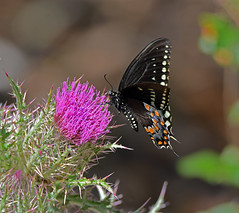 Spicebush Swallowtail on Horrible Thistle (Stan in FL) Tags: spicebushswallowtail horrible thistle purple papilionidae papilo troilus florida nikon d500