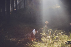 13/52 and suddenly spring is here (Jutta Bauer) Tags: spring light bokeh forest outdoors nature dog edgar excellentedgar boxermix pitbullmix 52weeksfordogs 52weeksforedgar