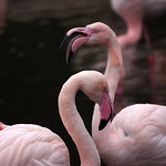 pentax_55-300mm_plm_coy_flamingo_1492071353
