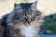 Sophie (fabrizio_buoso) Tags: gatti gatos gattiitaliani felini felinos animaledomestico cat cats chat chats gatto