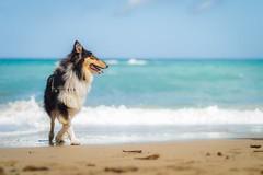 03/12 Nora,our little paradise (shila009) Tags: dog perro nora roughcollie tricolor beach sand blue mar sea azul retrato portrait