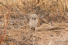 April 1, 2017 - The first of the Burrowing Owls for the season. (Tony's Takes)