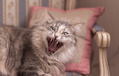 Cat yawning and winks (♥Oxygen♥) Tags: cat adult grey animal cute domestic funny pet striped teeth tongue yawning adorable fun fur home indoor light natural portrait pretty sleeping tired wakingup young wink eyes face sleep big breed clutches companion crying ears green humorous hungry itches jaws kit kitty lonely mammal winks strip pillow armchair chair