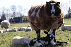 yes my twins ! (excellentzebu1050) Tags: lambssheepsoutdoors2017march lamb twins newlife newborn lambs outdoor field sheep animals animalportraits animal farm closeup coth5