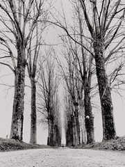 POTD:  Avenue (Caroline Oades) Tags: lowviewpoint lowpov mobiography iphoneography enlight barebranches trees avenue