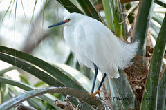 Snowy Egret in Breeding Plumage (wayne kennedy EDD) Tags: snowy