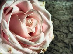 2017-088 Rose and Driftwood (Darren Wilkin) Tags: rose driftwood flower texture pink colour oneaday 365 anseladams macro
