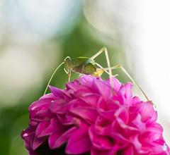 Top Bug. (Omygodtom) Tags: macro bokeh existinglight elitebugs flickr flower dahlia green red outdoors tamron tamron90mm zeiss light leica dof detail digital d7100 vr f28