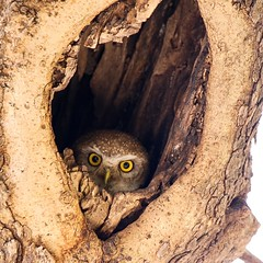 I see you.... (rick_toor) Tags: tamron birding bider birdlover indian asian house nest owlnest tree himachalpradesh kasauli india wildlifephotography naturephotography beautiful owl spottedowlet canon canoneos6d flickr