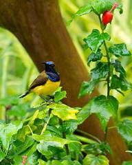 20170124-EM126087 (shutterblades) Tags: birds mandaizoo olivebackedsunbird olympusem1mkii olympusmzuiko300mmf4pro riversafari singaporezoo