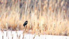 Male Red-Winged Blackbird strutting his stuff... (Trevdog67) Tags: male redwingedblackbird mapletonpark bird birdwatching marsh parcmapleton april2017 nature moncton newbrunswick nouveaubrunswick canada nikon d7100 sigma 150600mm 850mm 15x teleconverter contemporary shure shotgun mic windsock strutting video rwbb 83vf