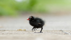 Strut Your Stuff (shaftina©tion) Tags: chloropus common gallinula gallinulachloropus moorhen rail rallidae avian baby bird black chick feathers marshhen swampchicken young strutting striding walking shaftinactioncom