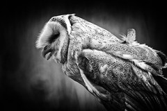Owl's Talk BW version