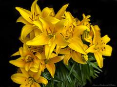 Golden Lilies_15973 (smack53) Tags: smack53 lilies goldenlililes flowers plants pottedplants spring springtime westmilford newjersey canon powershot g12 canonpowershotg12 closeup
