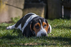 IMG_8289 (BFDfoster_dad) Tags: basset hound puppy