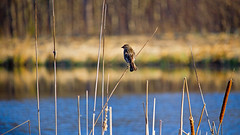 Redwing Blackbird (f) (Bob's Digital Eye) Tags: 2017 back30 birds bobsdigitaleye canon canonefs55250mmf456isstm depthoffield fauna nature outdoor redwingblackbirdf t3i wildbird wildlife flicker flickr