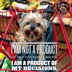 I decided to be owned by a Yorkie. (and I'd do it again too!) (itsayorkielife) Tags: itsayorkielife yorkie yorkielove yorkiememe yorkshireterrier