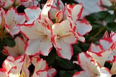 Azalee (eikeblogg) Tags: flora azalee plants blooming coloured petals details closeup pentaxphotography flowerpower blueten pflanzen blumen