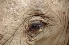 ZOO0079-3 (Akira Uchiyama) Tags: 動物たちのいろいろ 目 目ゾウアフリカゾウ