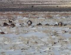 2017 Hart Mountain Lek Trip (Oregon Natural Desert Association) Tags: aaron tani onda hart mountain sage grouse restoration volunteer fish wildlife service lek lekking spring break stewardship monitoring